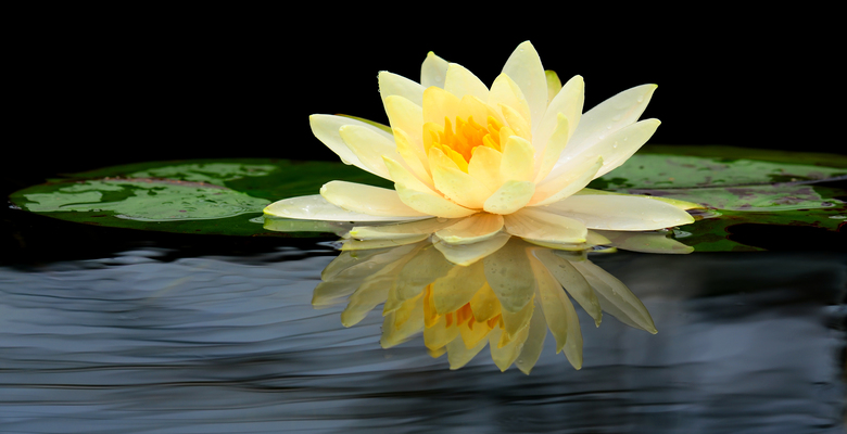 White lilly flower in water